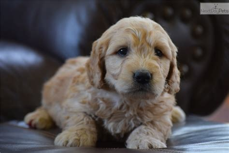 goldendoodle puppies for sale in missouri goldendoodle puppy for sale near joplin missouri