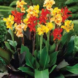 Grown Green Rugs Canna Mixed Standard Dormant Bulbs 8 Pack 70216 The