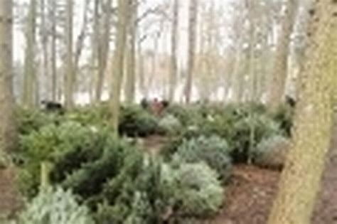 delamere forest looks to improve its christmas tree sales