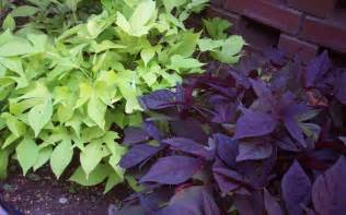 how to grow ornamental sweet potato vine bomets