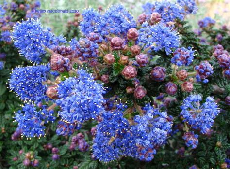 Lilac Syari by Plantfiles Pictures Ceanothus California Lilac