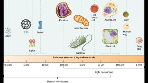 protein of bacteria protein vs virus vs bacteria size chart clean home
