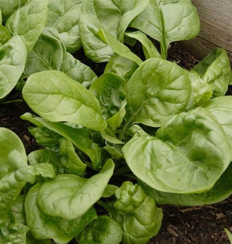 space spinach seeds