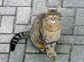 the domestic cat a look at the house cat cat opedia