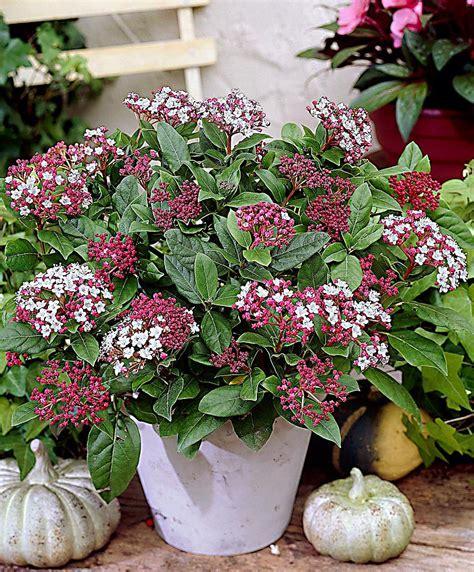 viburnum tinus vaso acquista viburno gwenllian bakker