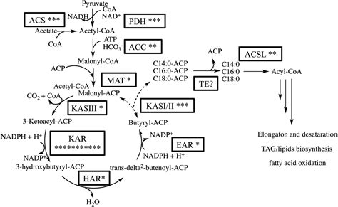fatty acid synthesis pathway diagram frontiers modulation of medium chain fatty acid
