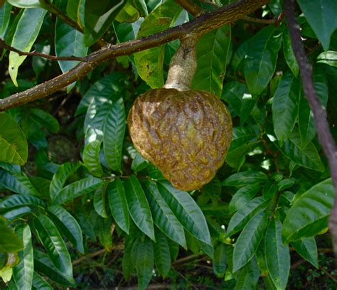 anonas fruit tree annona reticulata images useful tropical plants