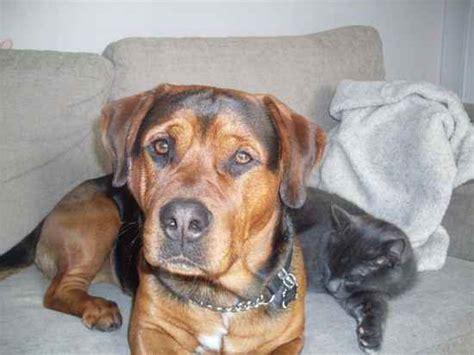rottweiler terrier mix rottweiler and terrier mix 13 free wallpaper dogbreedswallpapers