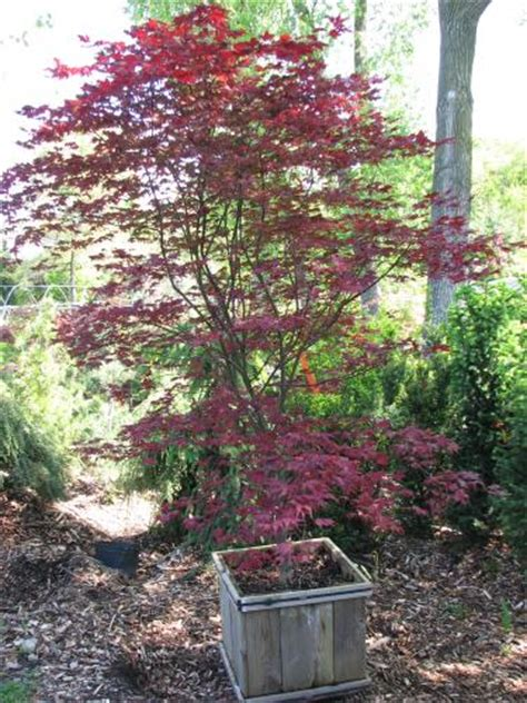 rich s foxwillow pines nursery inc acer palmatum