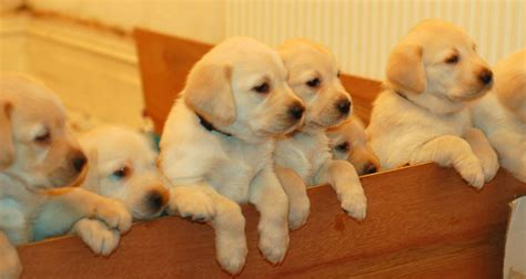 lab puppies for sale labrador retriever puppies for sale isleworth middlesex pets4homes