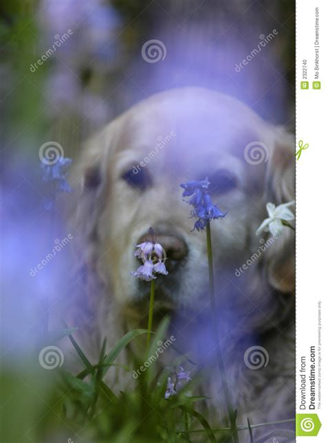 lavender on dogs lavender stock photo image 2322740