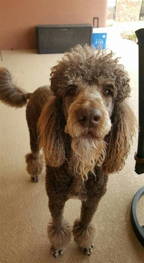 standard poodles with beards 52 best manly standard poodle cuts images on pinterest