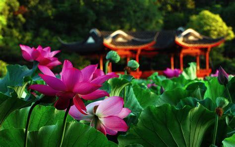Lotus Garden Desktop Hd Wallpaper Flowers Wallpapers Lotus Flower Garden