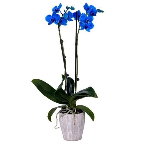 decoblooms   orchid blue  container db