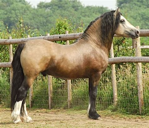 welsh section d cobs for sale 25 best ideas about welsh pony on pinterest pretty