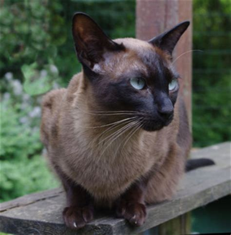 fable 3 ragdoll tonkinese description and tonkinese personality