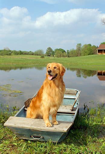 sand pond golden retrievers rowboat animal stock photos kimballstock