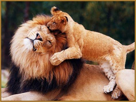 imagenes de leones rugientes fotos de leones grandes y preciosos imagenes de leones
