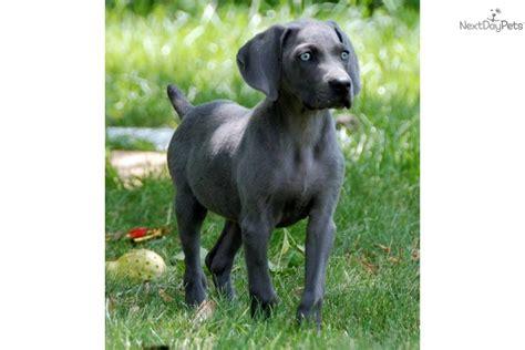 weimaraner puppies for sale in indiana weimaraner for sale for 600 near muncie indiana 7940b6a5 a601