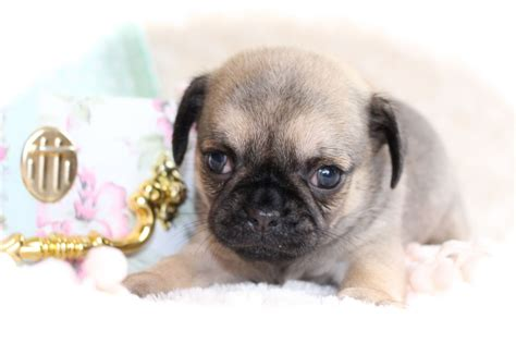 chihuahua x pug puppies pin pug x chihuahua puppies on