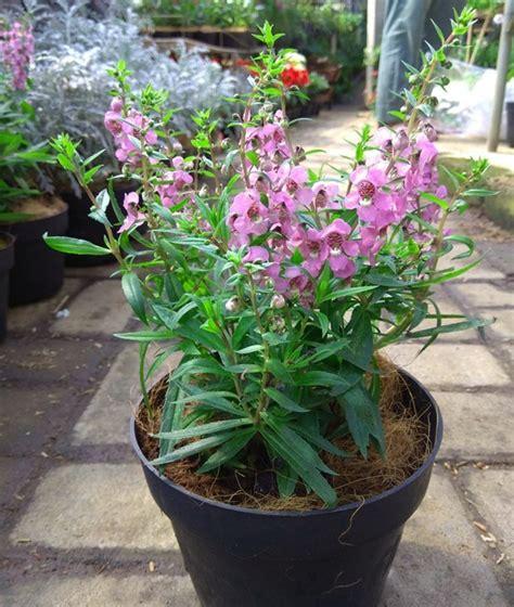 Tanaman Pink tanaman angelonia pink bibitbunga