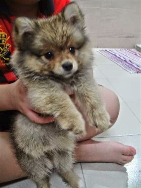 best little house dogs top 10 most affectionate dog breeds pom love pinterest