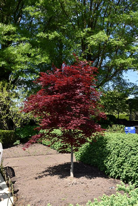 fireglow japanese maple acer palmatum fireglow in naperville aurora batavia oswego chicago