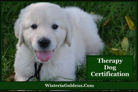 for therapy certification qualifying for therapy certification wisteria goldens