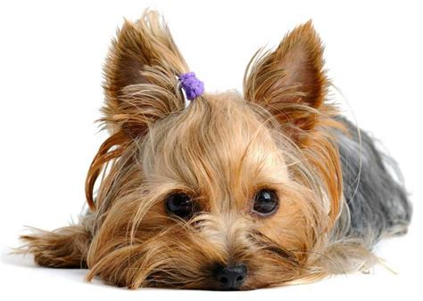what are yorkies yorkie colors terrier coat colors yorkiemag