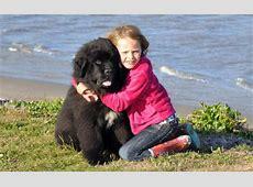 Newfoundland Puppy Breeders - Homepage Reputable Site