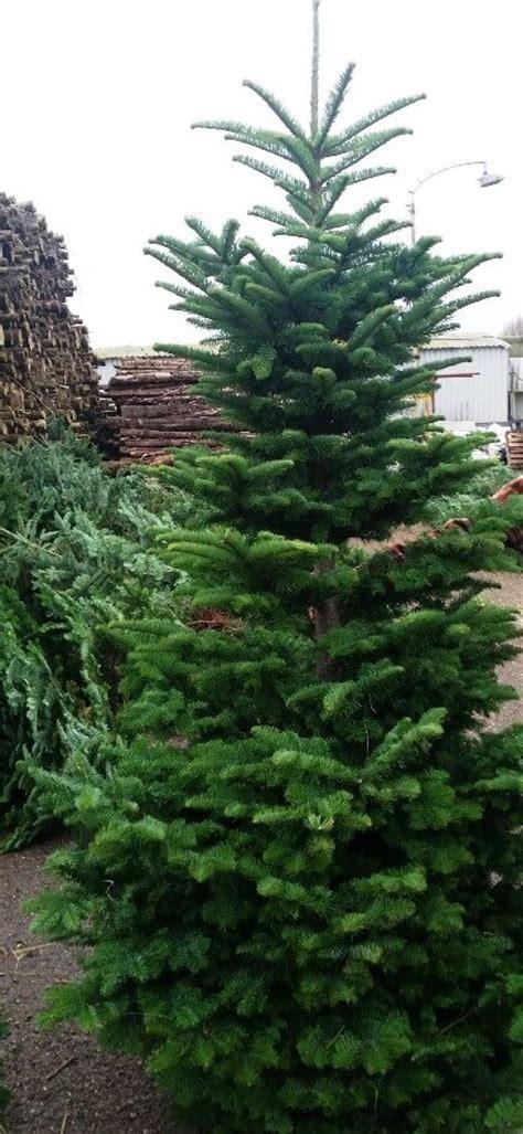 noble fir real christmas tree cork christmas trees