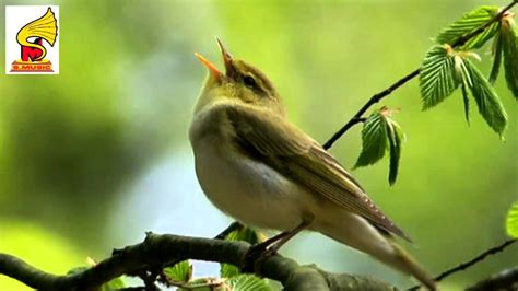 singing birds chirping pleasant morning music bird sound
