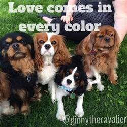 cavalier colors cavalier king charles spaniel colors