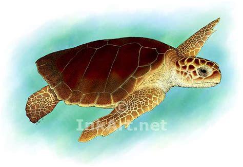 turtles colors loggerhead sea turtle caretta caretta line and