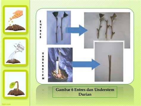 Bibit Durian produksi penyimpanan bibit durian