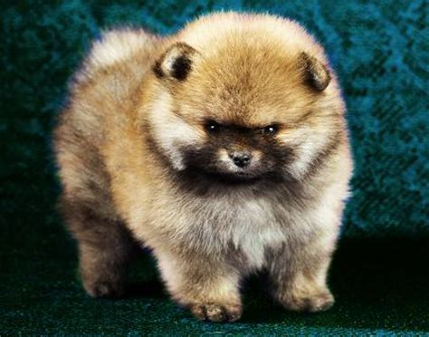 pomeranian heat cycle heat cycle signs slideshow