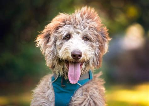 free puppies washington state available labradoodle and aussiedoodle puppies aussiedoodle and labradoodle puppies