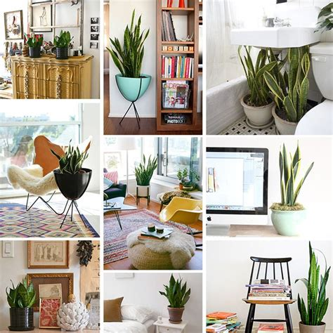 Plant For Home Decoration by Snake Plant House Decor
