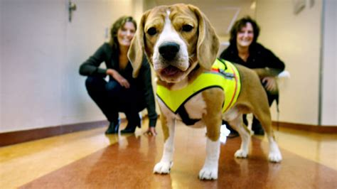 c diff in dogs c diff sniffing beagle could lead to better infection outcomes in