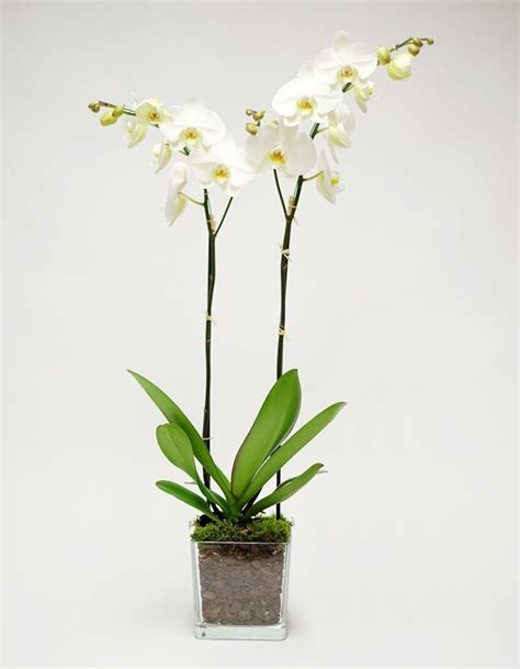 Orchid In Glass Vase by White Orchid In Glass Vase Orchidya