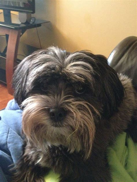 havanese yorkie mix yoda a havanese yorkie mix submitted by kaela aho special to the