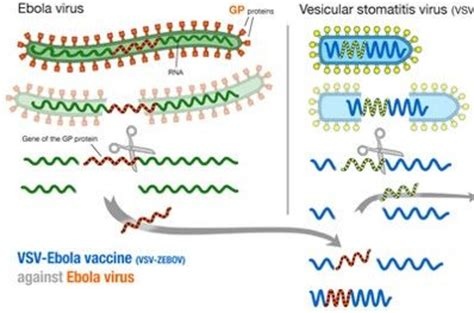development of a preventive vaccine for ebola virus ebola virus disease epomedicine
