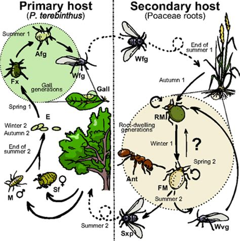 cycle of aphids diagram mimikra chemiczna u mszyc racjonalista tv