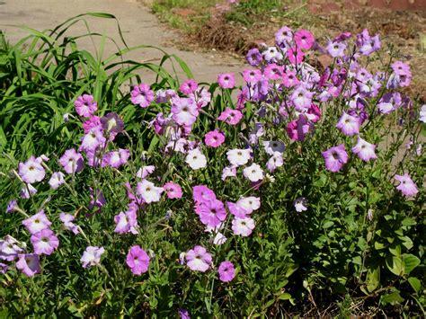 online plant guide petunia species self seeding petunias