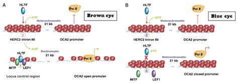 p protein oca2 genetics of pigmentation diversity peace justice