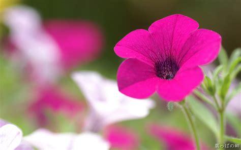 flower photography 1680 1050 hd flower photography vol 04 widescreen