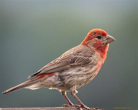 common house finch common house finch 28 images identification and tips