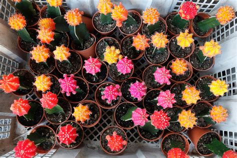 care  grow ruby ball cactus moon cactus