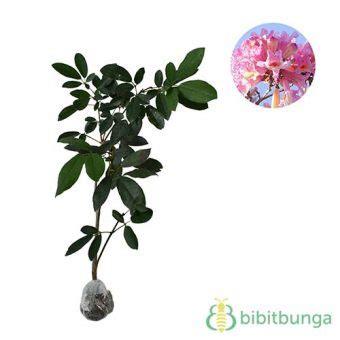 Bibit Bunga Tabebuia tanaman tabebuia impetiginosa bibitbunga
