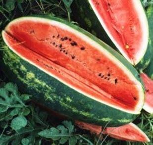 Bibit Semangka benih semangka kongo